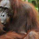 Bukit Lawang e gli oranghi: un esempio di ecoturismo insostenibile (Indonesia)