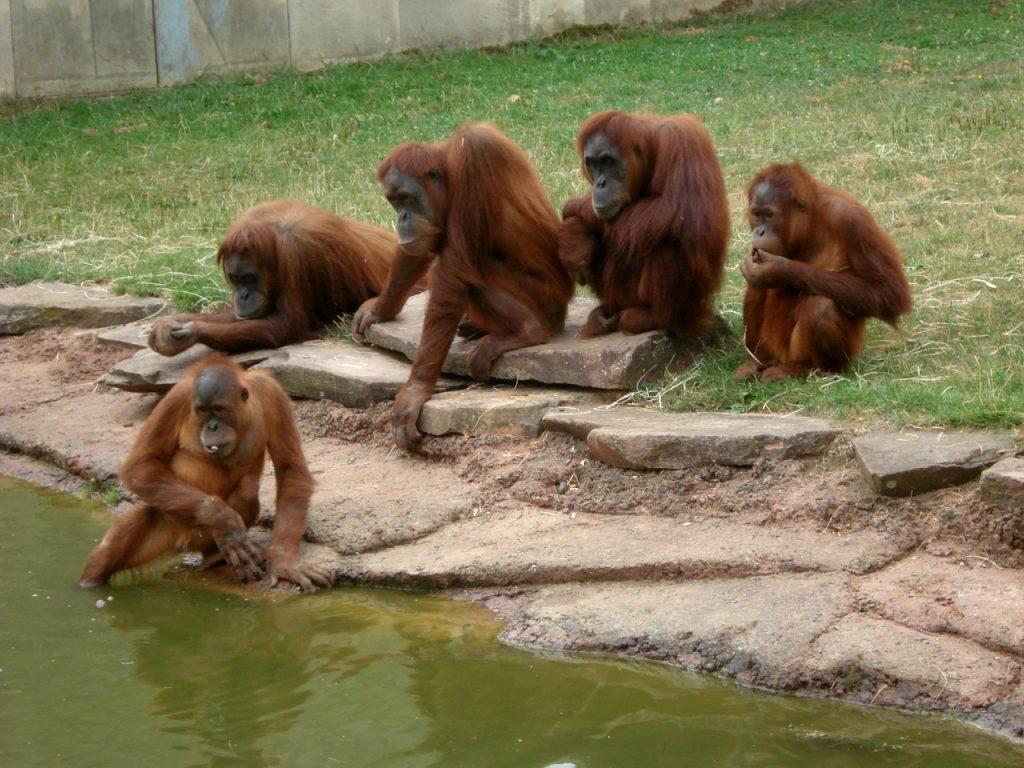 vedere gli oranghi in indonesia