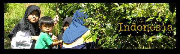 Indonesia piantagione di té