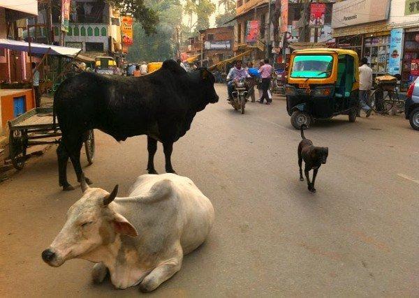 Strade varanasi mucche