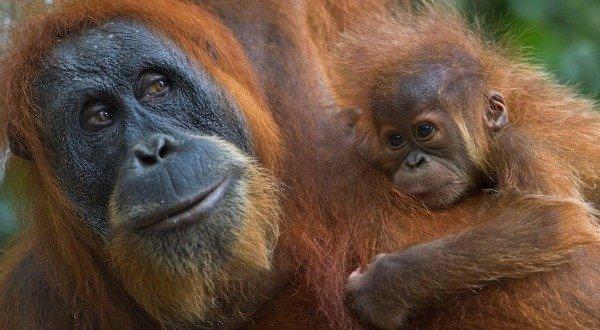 orangutan con figlio2