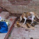 Contatti utili per soccorso animali a Varanasi