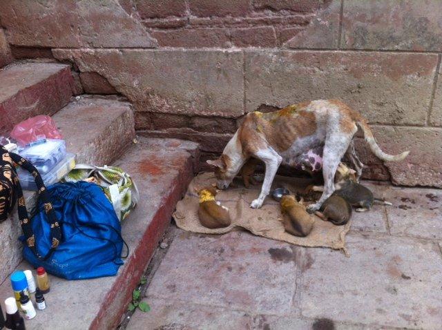Street dog Varanasi