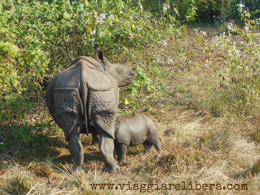 Rinoceronte col suo piccolo AL Parco nazionale di Chitwan