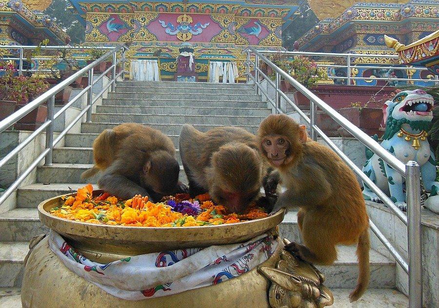 Scimmie Kathmandu
