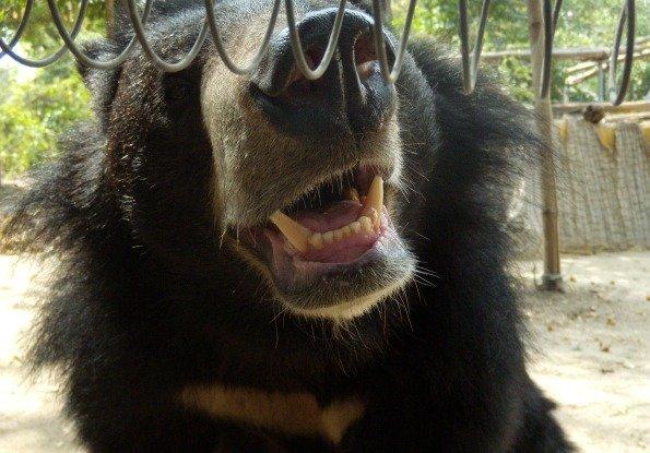 muso orso