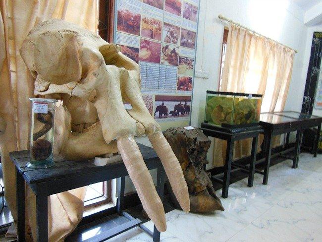 teschio elefante