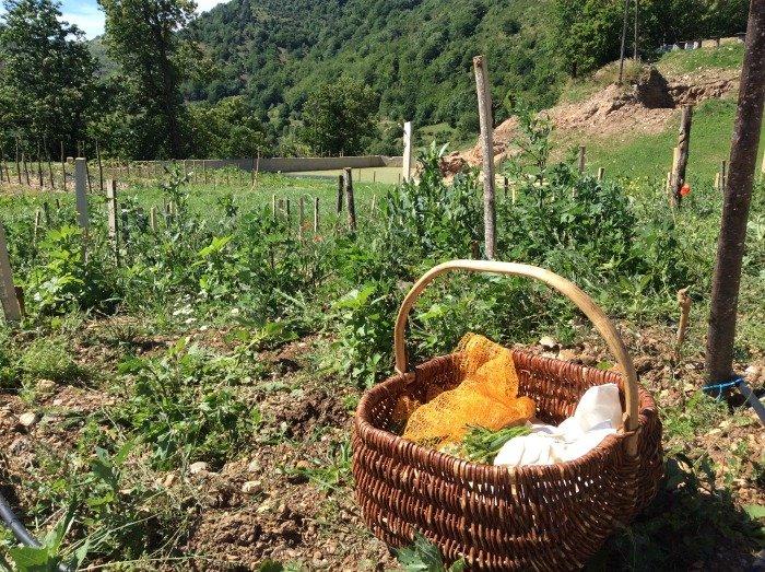 raccolta erbe spontanee