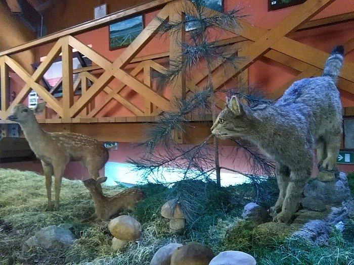 Gatto selvatico - Sila