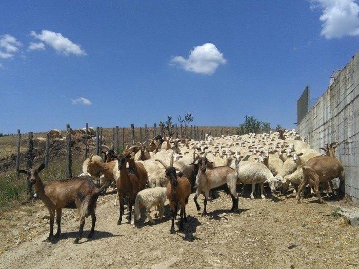 gregge pecore piccola