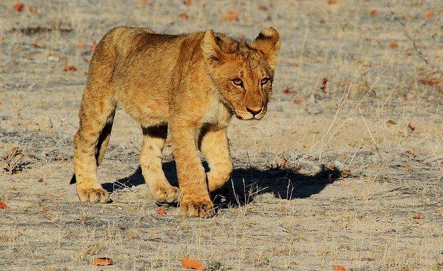 cucciolo-leone-sud-africa