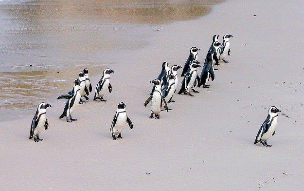 pinguini-sud-africa