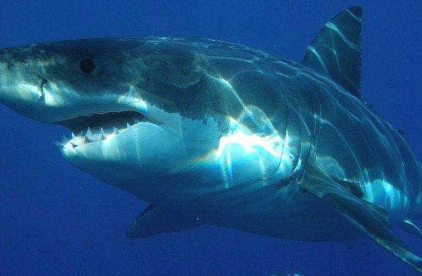 squalo-bianco-sud-africa