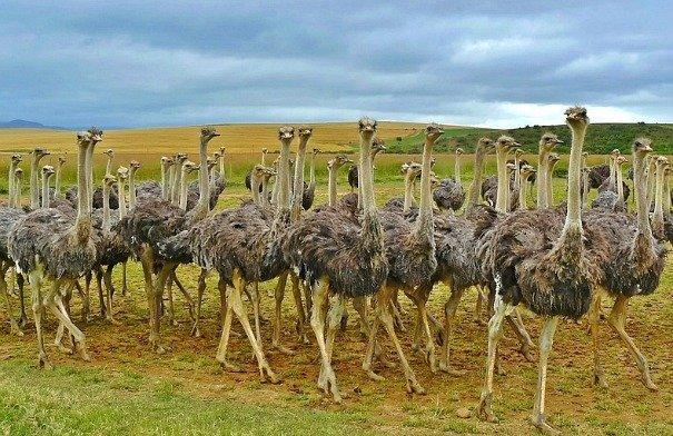 struzzi-sud-africa