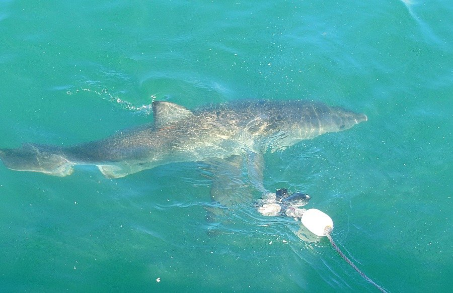 squalo-sud-africa