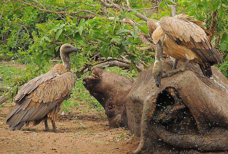 avvoltoi-sul-bufalo