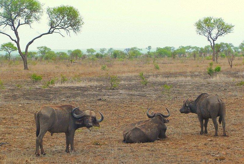 bufali-kruger