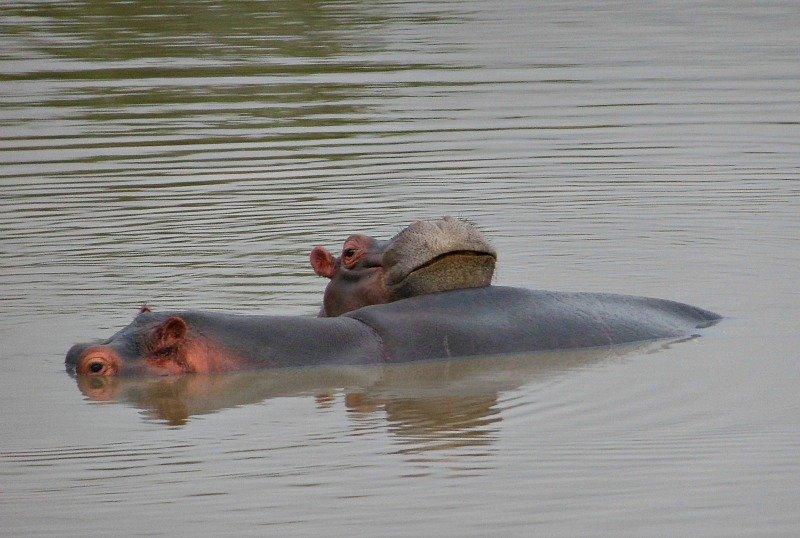 ippopotami-in-acqua
