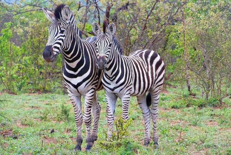 Safari Sudafrica Zebre
