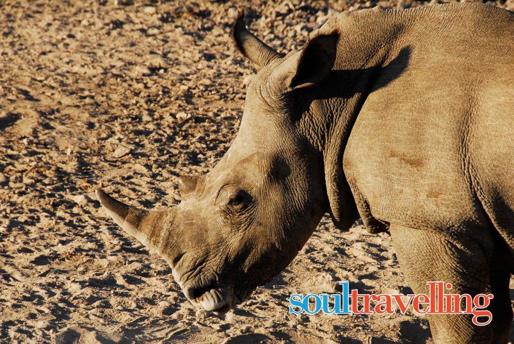 Rinoceronte Botswana