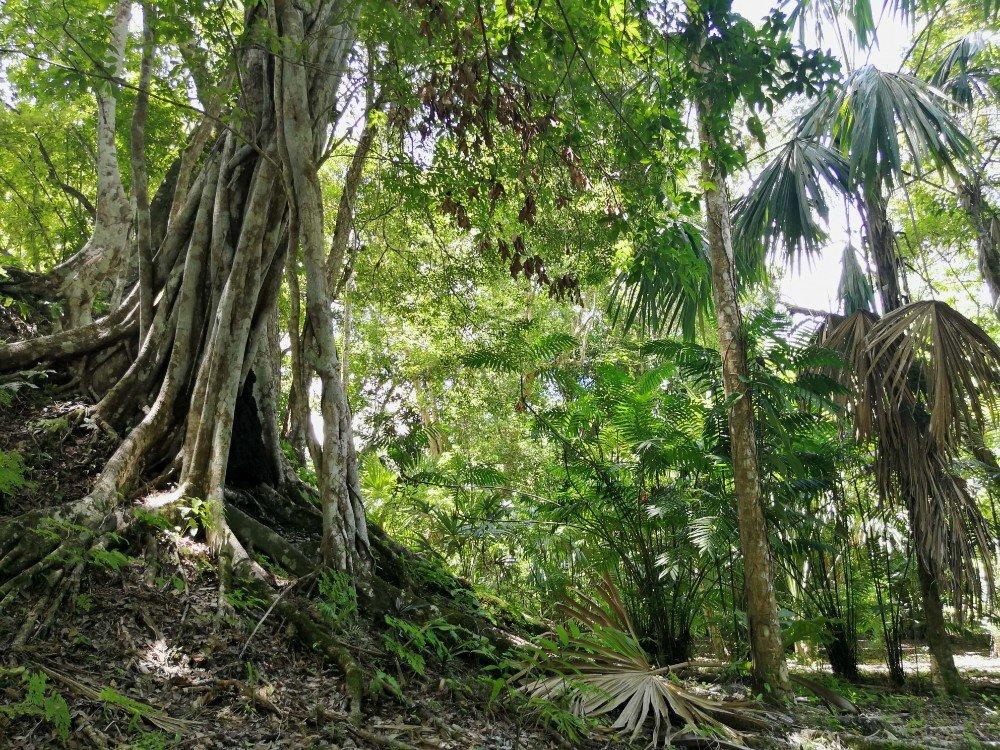 albero maya Guatemala-min