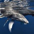 Osservazione delle balene, certificata responsabile, nell'Isola della Reunion