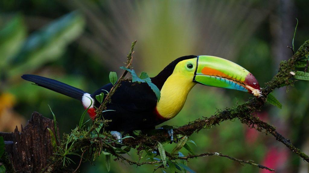 Tucano Costa Rica