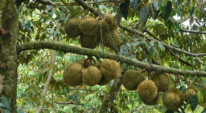 Albero di Durian