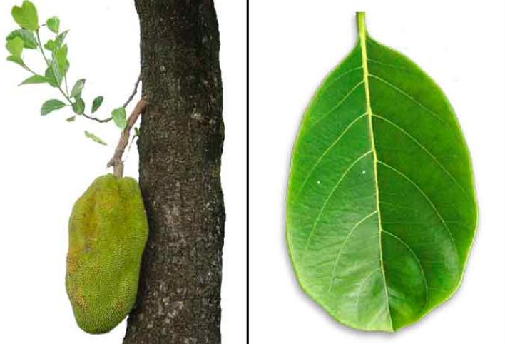 Frutto e foglia Jackfruit