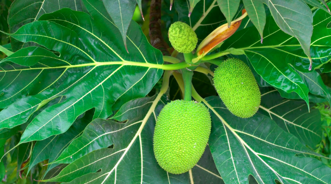 Albero del pane - Frutti e foglie