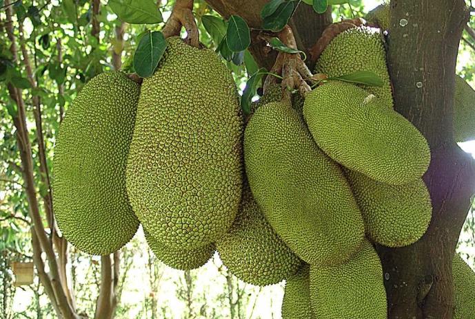 Albero jackfruit