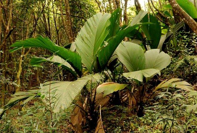 Phoenicophorium borsigianum