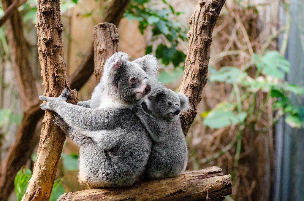 Koala cuddling No Grazie