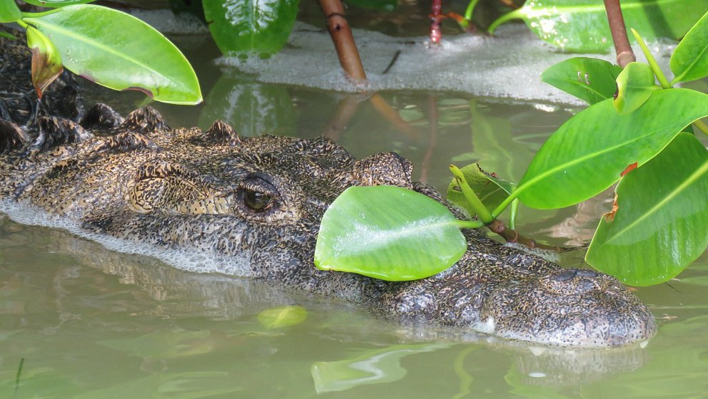 Alligatore Messico