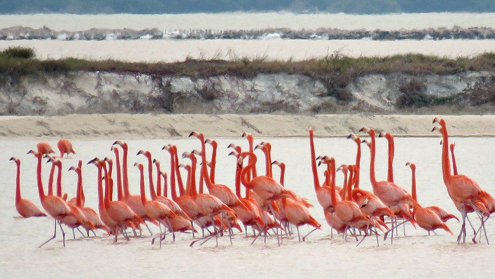 Fenicotteri rosa birdwatching Messico