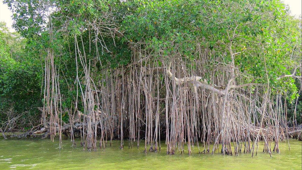Ro Lagartos mangrovie