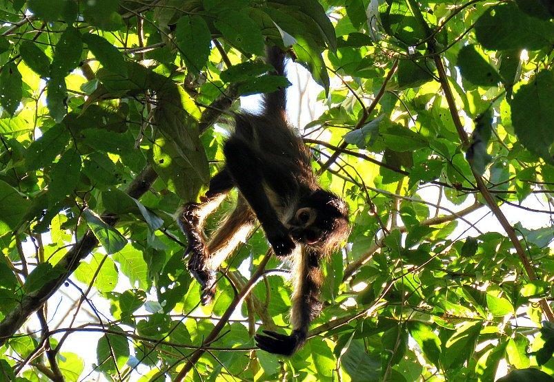 Scimmia ragno Messico