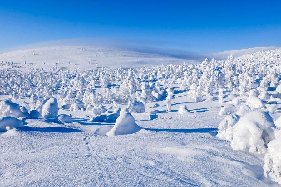 Bosco di alberi ghiacciati Lapponia