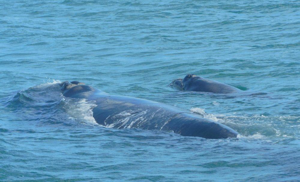 Balena Sudafrica
