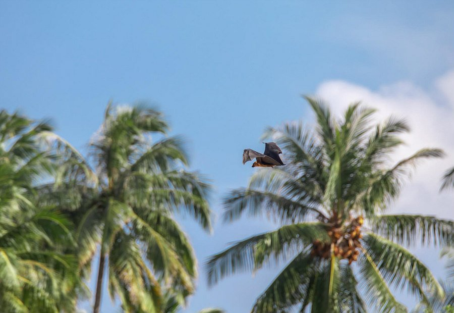 Pipistrello della Frutta Maldive