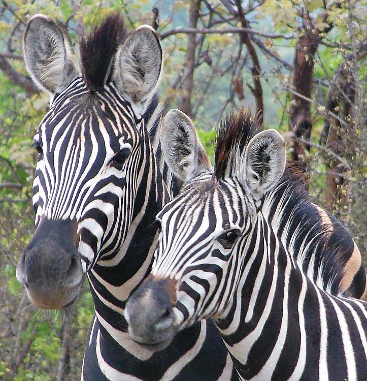 Zebre Sudafrica - Kruger National Park