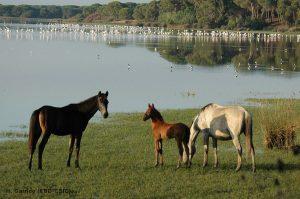 Cavalli selvatici Donana Andalusia
