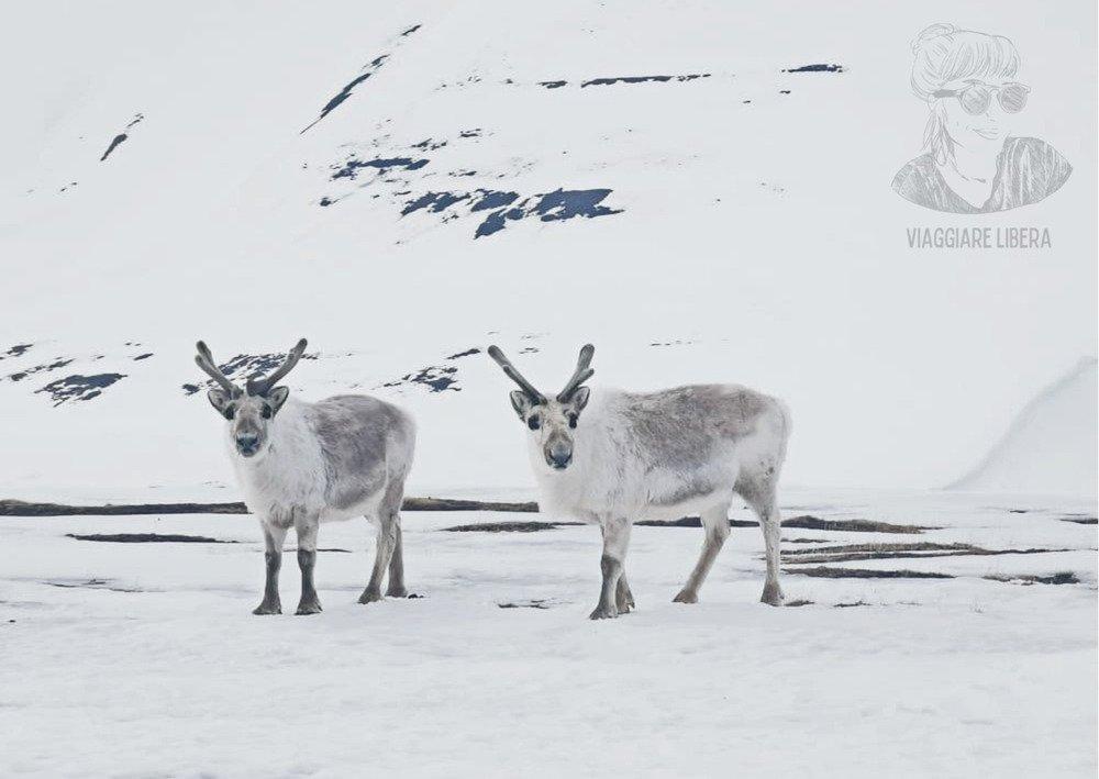 Renne Svalbard - Norvegia