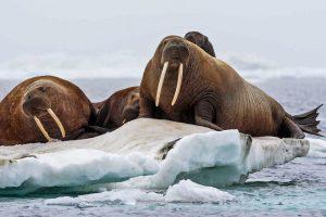 Trichechi Svalbard